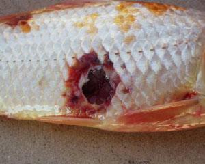 Зараженная рыба