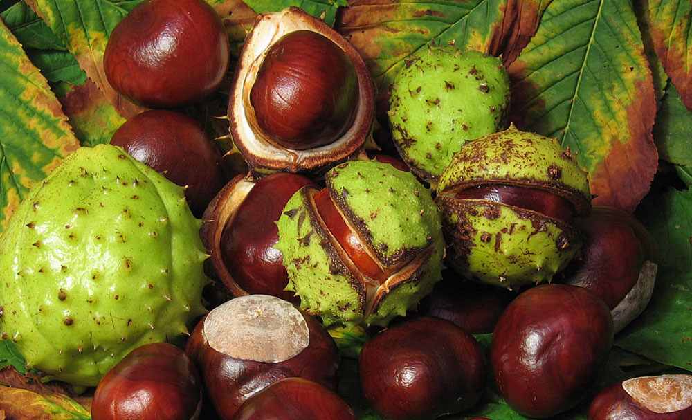 Плоды и семена конского каштана (Aesculus hippocastanum )