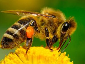 Чудесное излечение ревматизма укусами пчел