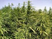 Сырье для марихуаны
