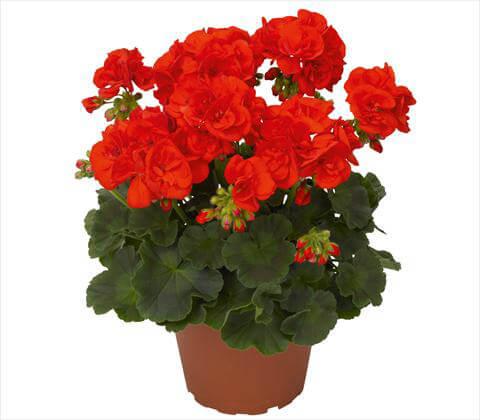 Комнатное растение герань