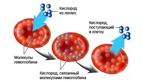 Роль гемоглобина крови