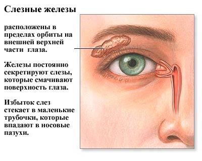 Слезные железы